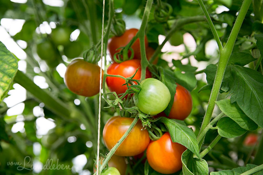 Tomaten-Ernte 2018