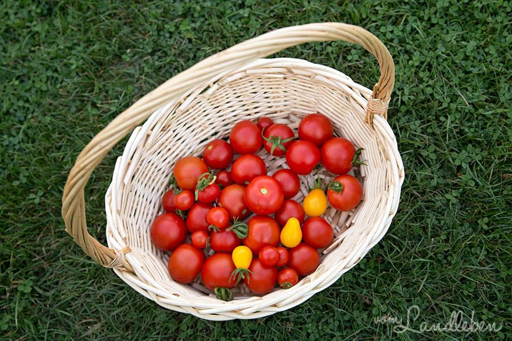frische tomaten aus dem garten unsere tomatenernte vom landleben. Black Bedroom Furniture Sets. Home Design Ideas