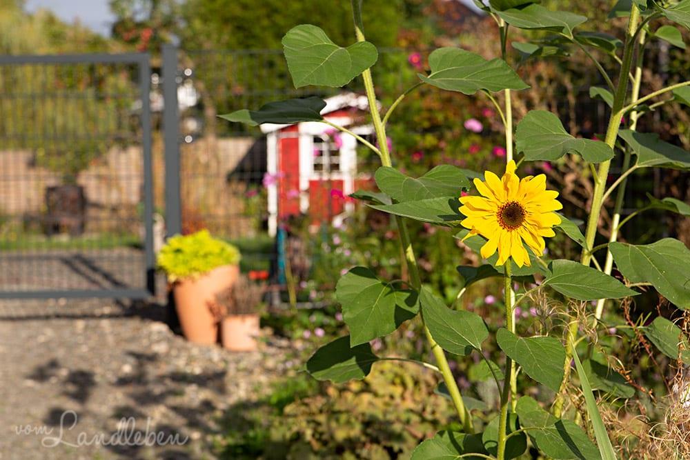 Sonnenblume im September 2018