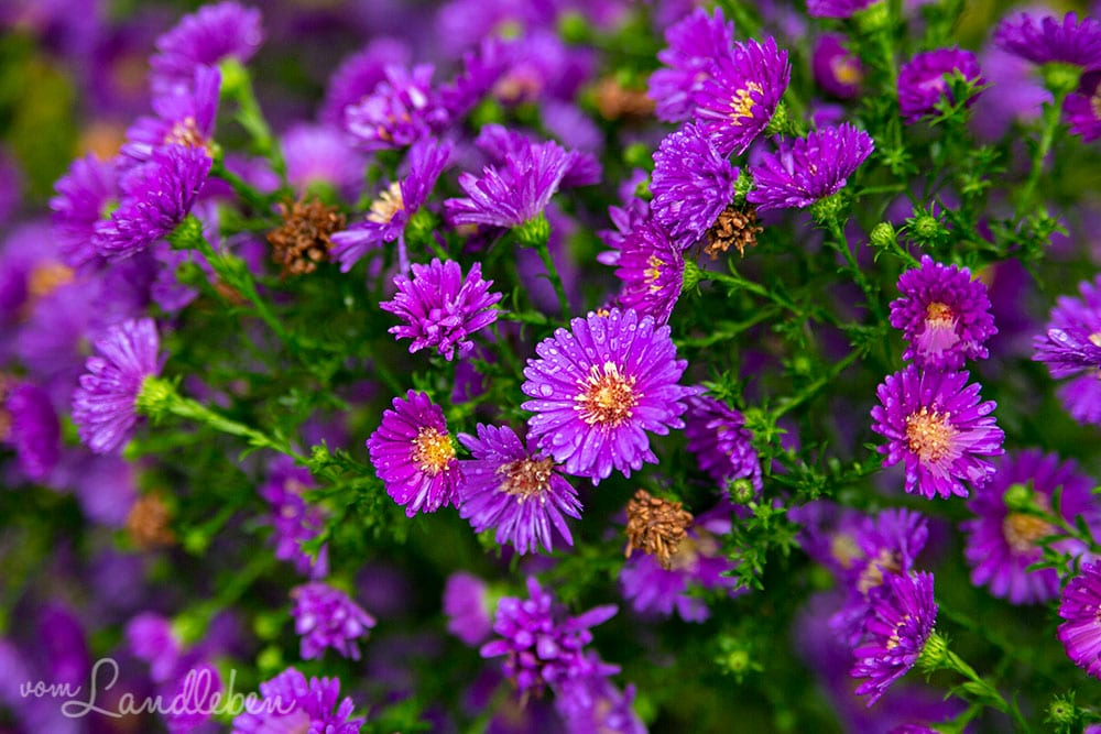 Blühende Astern im Oktober