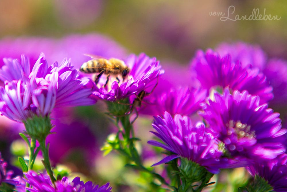 Biene an einer Aster