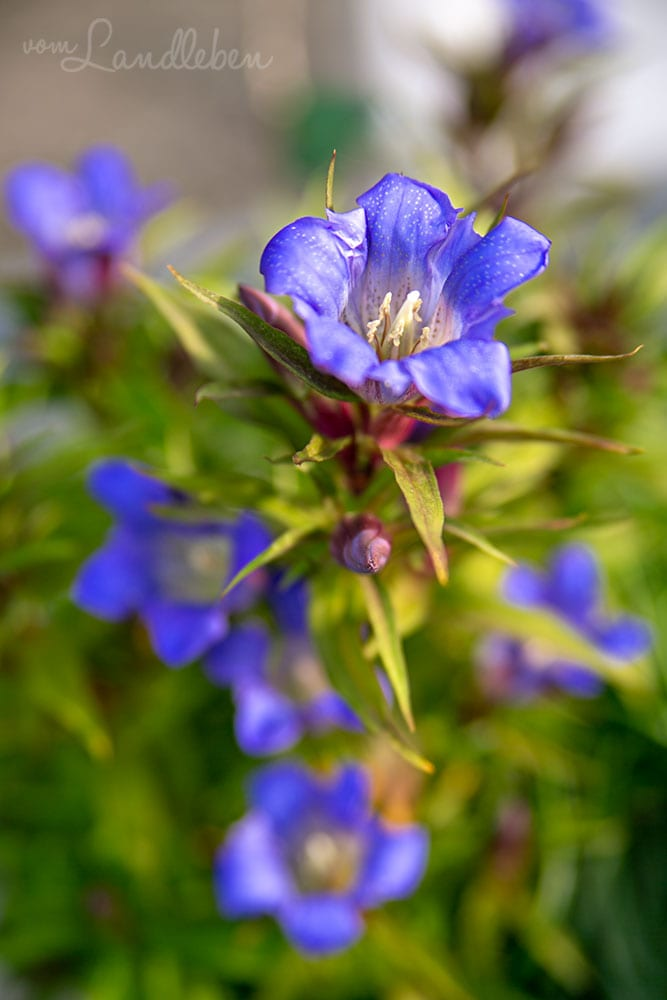 Enzian-Blüte