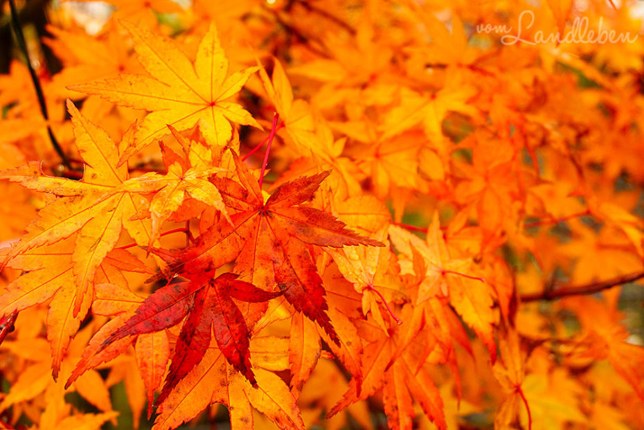 Japanischer Ahorn im Herbst