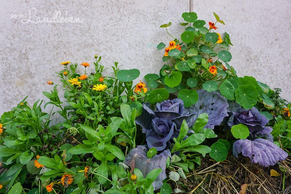 Ringelblumen, Rotkohl und Kapuzinerkresse