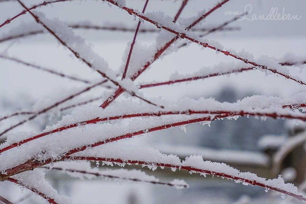 Schnee im Garten - Harlekinweide