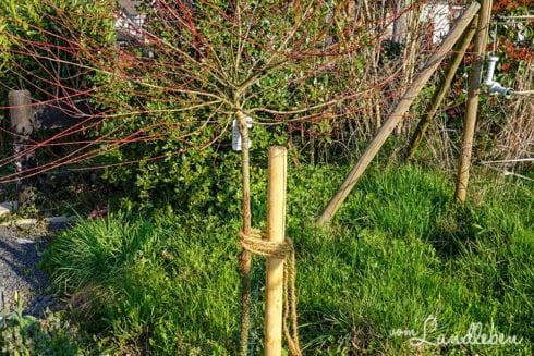 Baumstamm mit Kaninchendraht vor Katzen schützen
