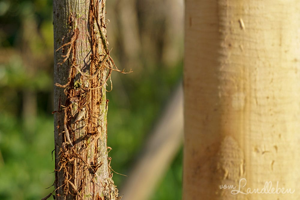 Von Katzenkrallen zerkratzter Baumstamm