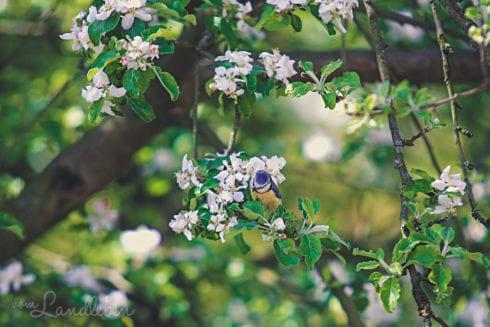 Blaumeise im Apfelbaum