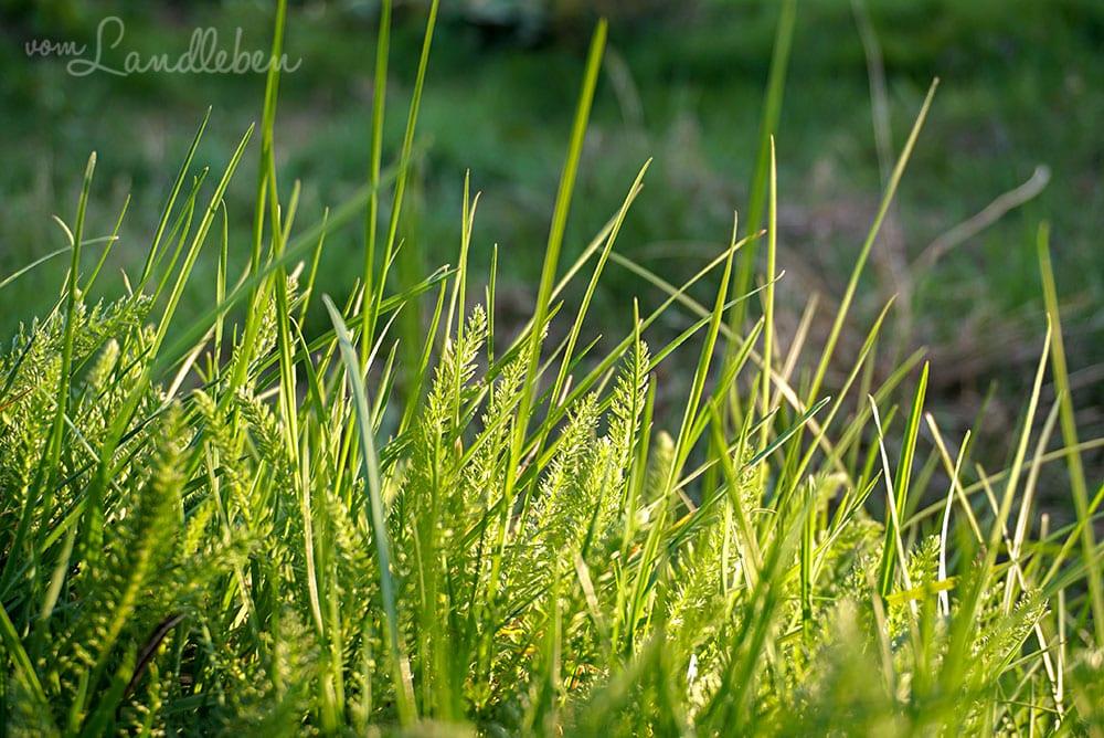 Gras und Schafgarbe - März 2019