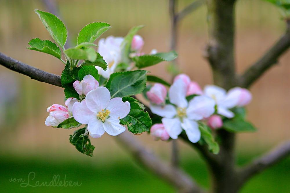 Apfelblüte im April 2019