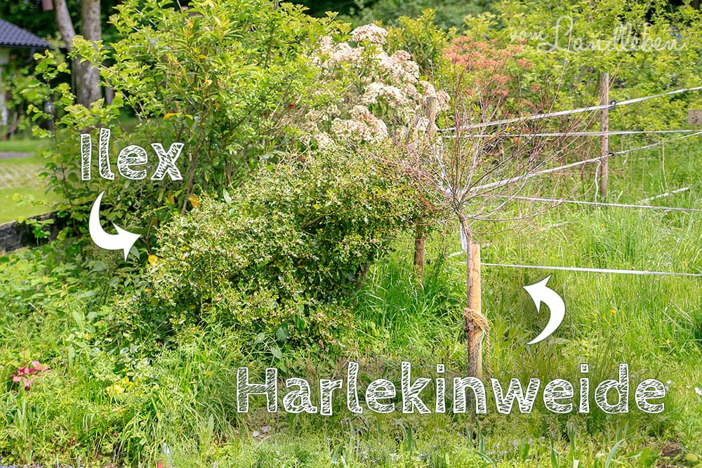 Ilex und Harlekinweide im Mai 2019