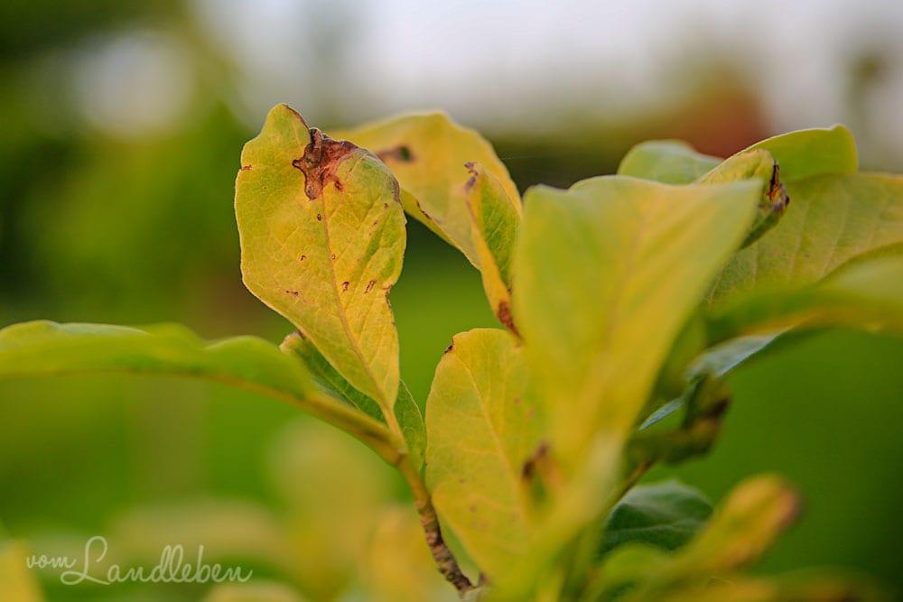 Gelbe Blätter an der Magnolie