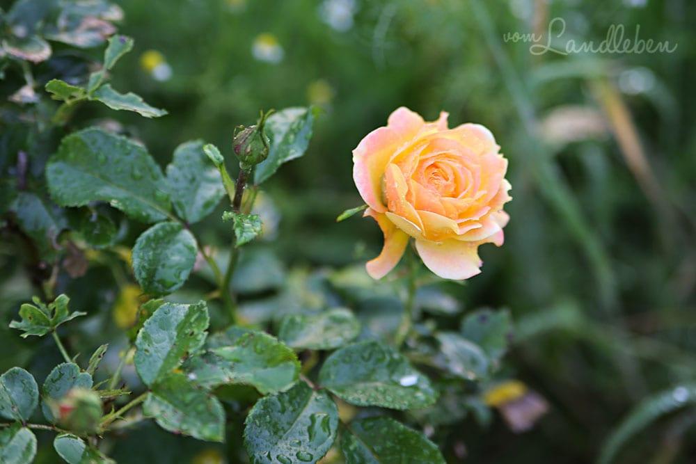 Rosenblüte - Juni 2019