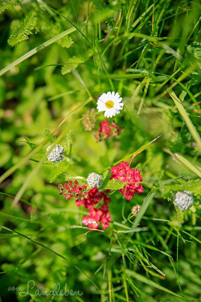 Schafgarbe und Gänseblümchen