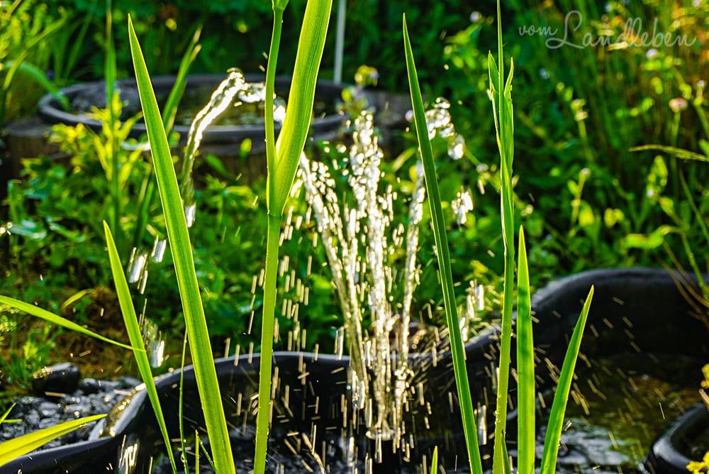 Sumpfschwertlilie und Springbrunnen