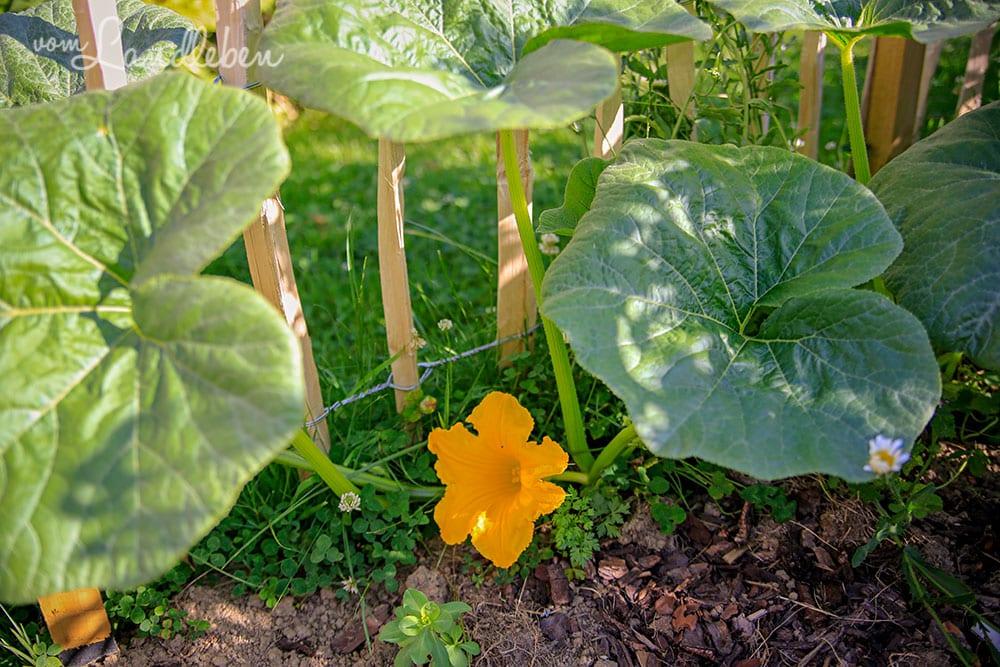 Kürbis-Blüte