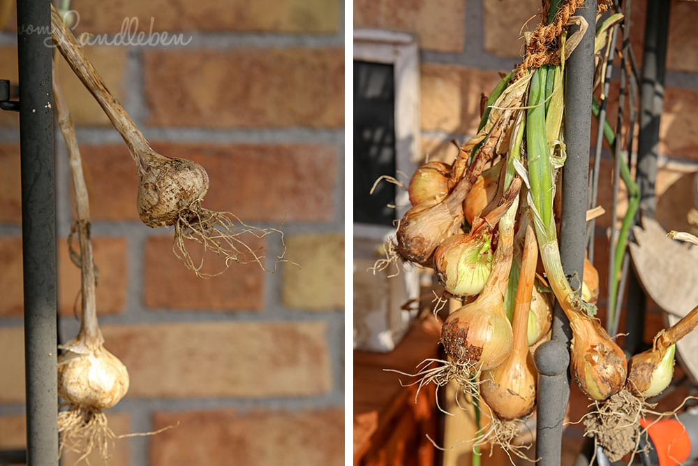 Zwiebeln und Knoblauch trocknen