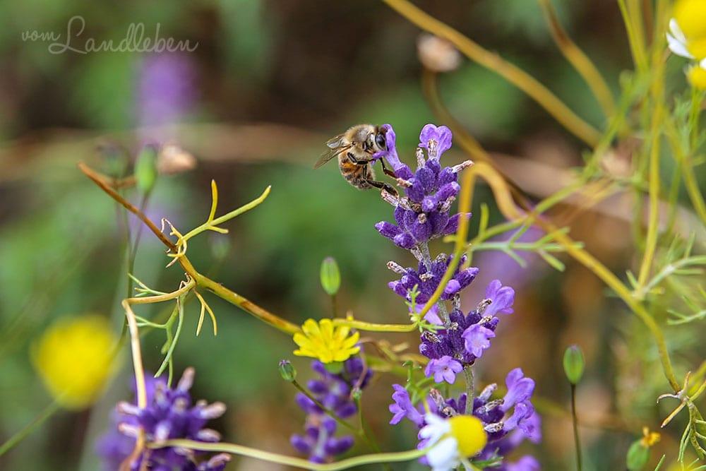 Biene am Lavendel
