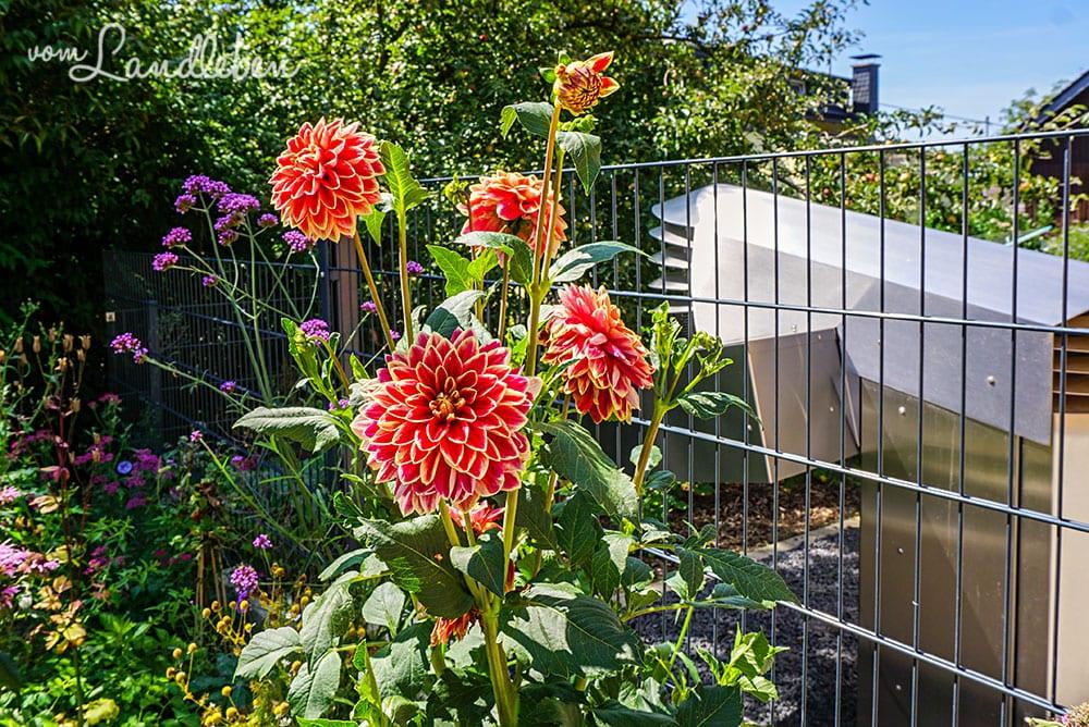 Dahlien im Vorgarten - Juli 2019