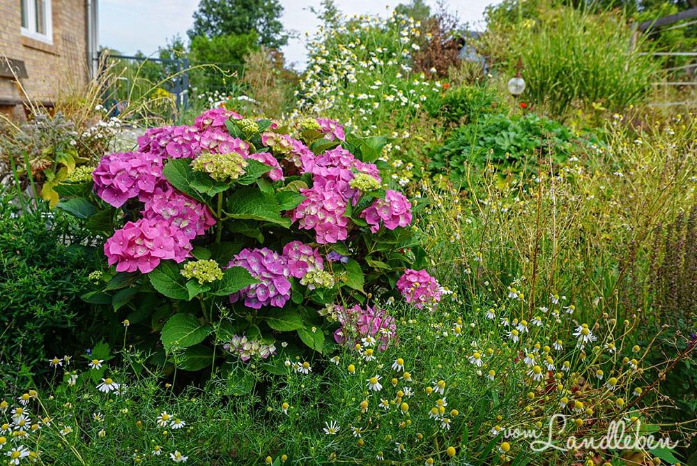 Hortensie im Mittelgarten - Juli 2019