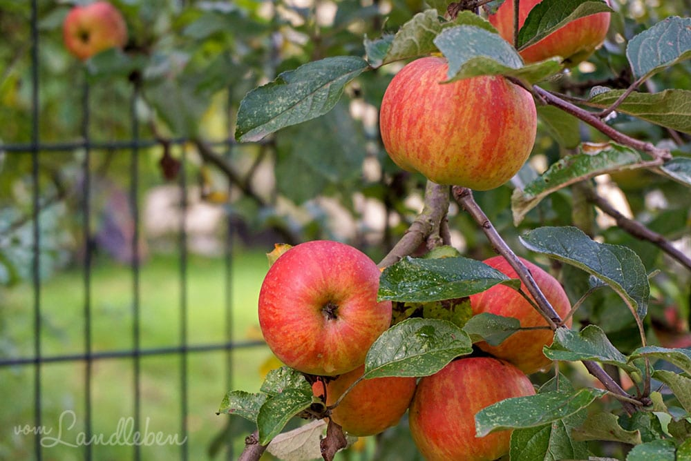 Äpfel im September 2019