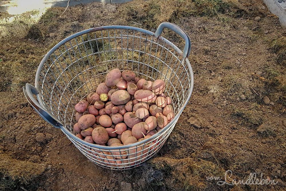 Kartoffelernte 2019