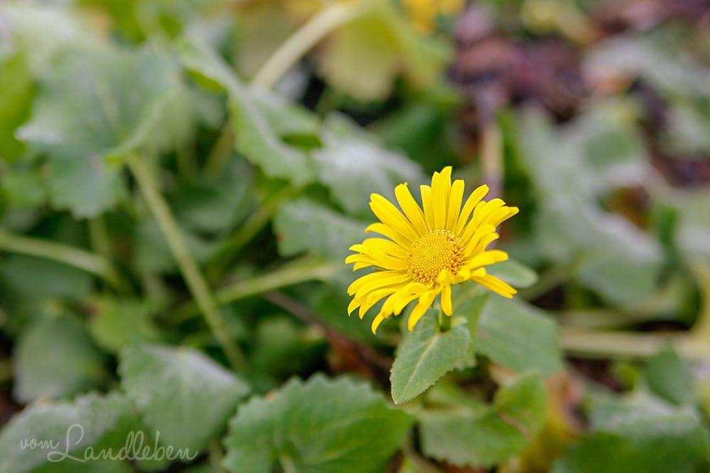 Gämswurz (Doronicum orientale) - Blüte im Dezember