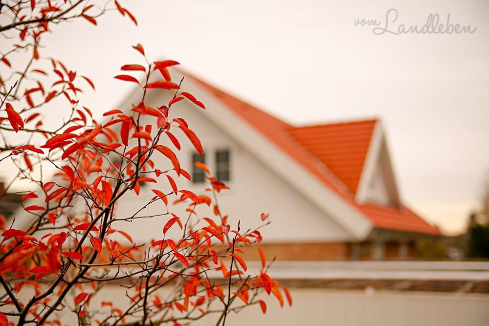 Kupferfelsenbirne im Herbst