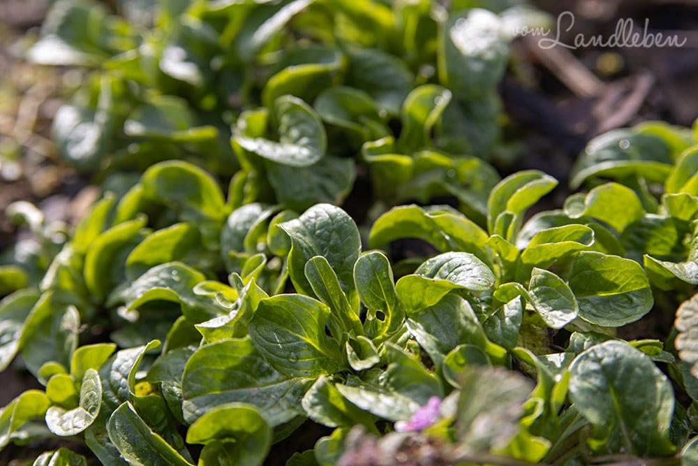 Feldsalat im Garten - Februar 2020
