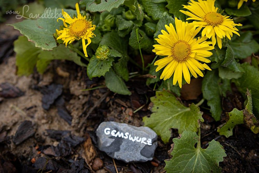 Steine beschriften als Pflanzenschild - Gemswurz