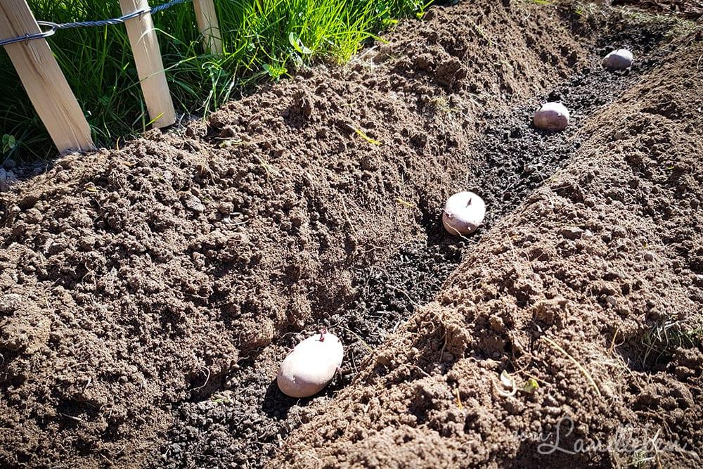 Kartoffeln pflanzen