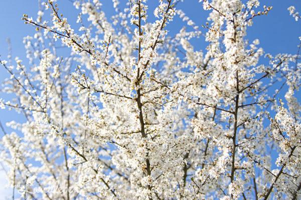 Schlehe - Blüte im März