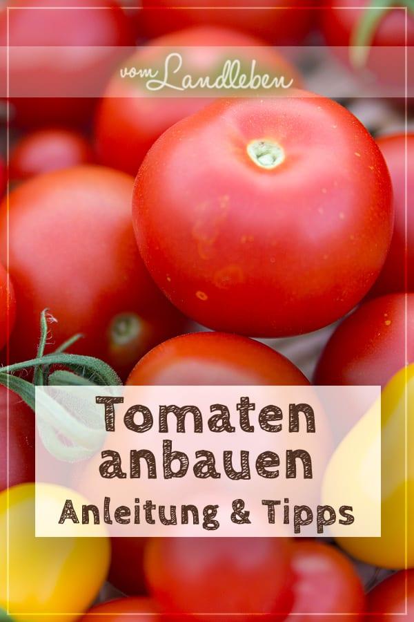 Tomaten anbauen - Anleitung und Tipps