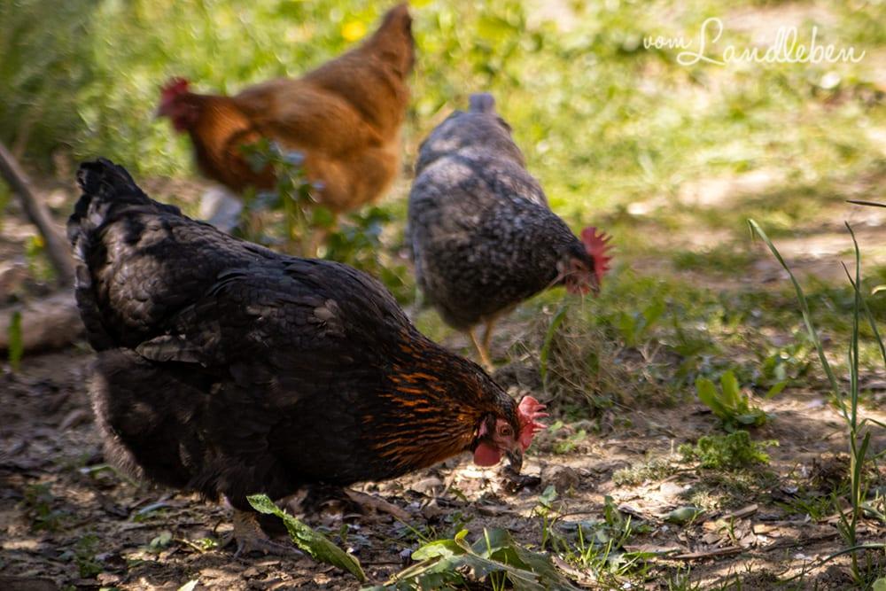 Unsere Hühner - Bertha, Lotte und Eule