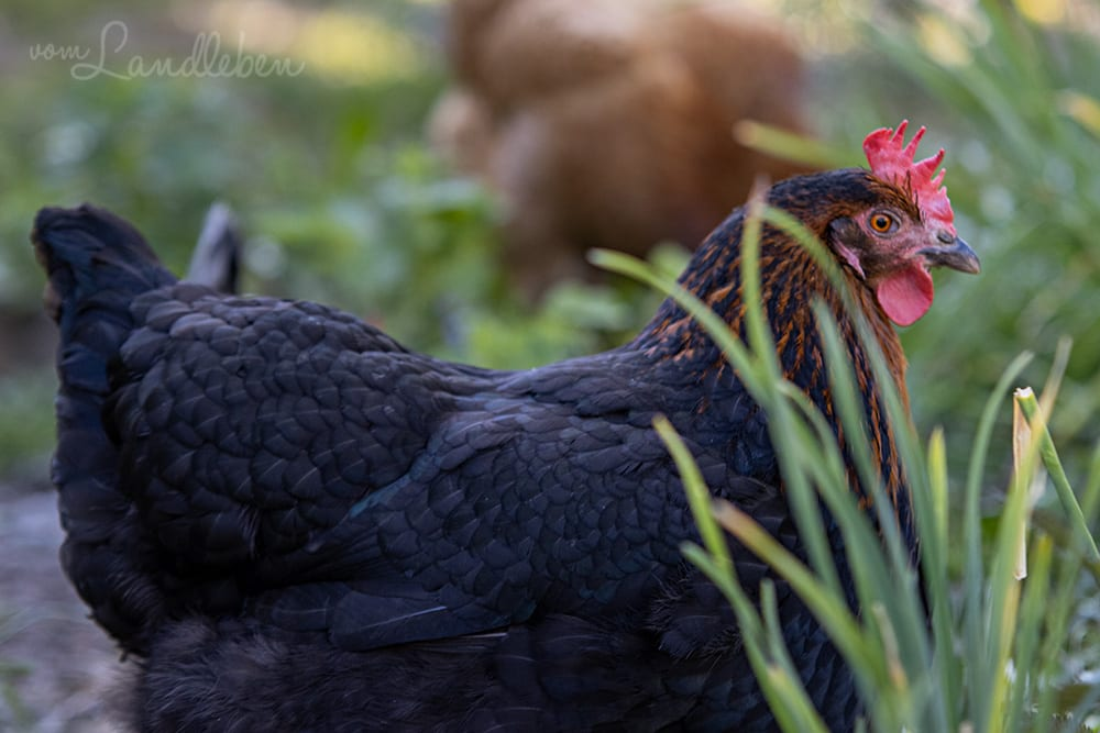 Unsere Hühner - Bertha