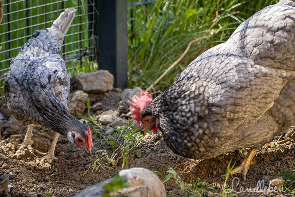 Unsere Hühner - Lilly und Eule