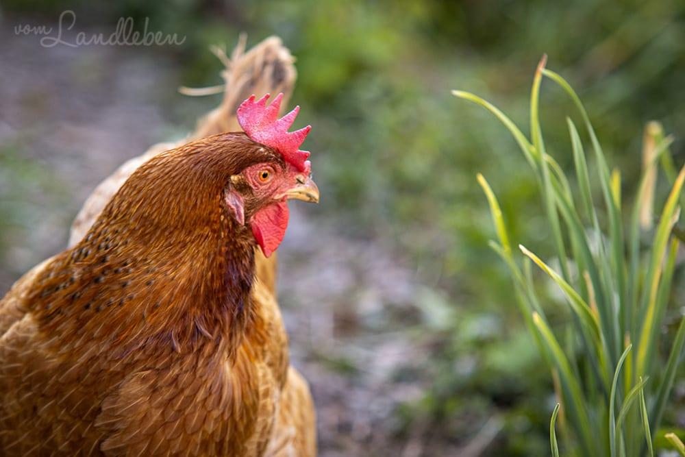 Unsere Hühner - Lotte
