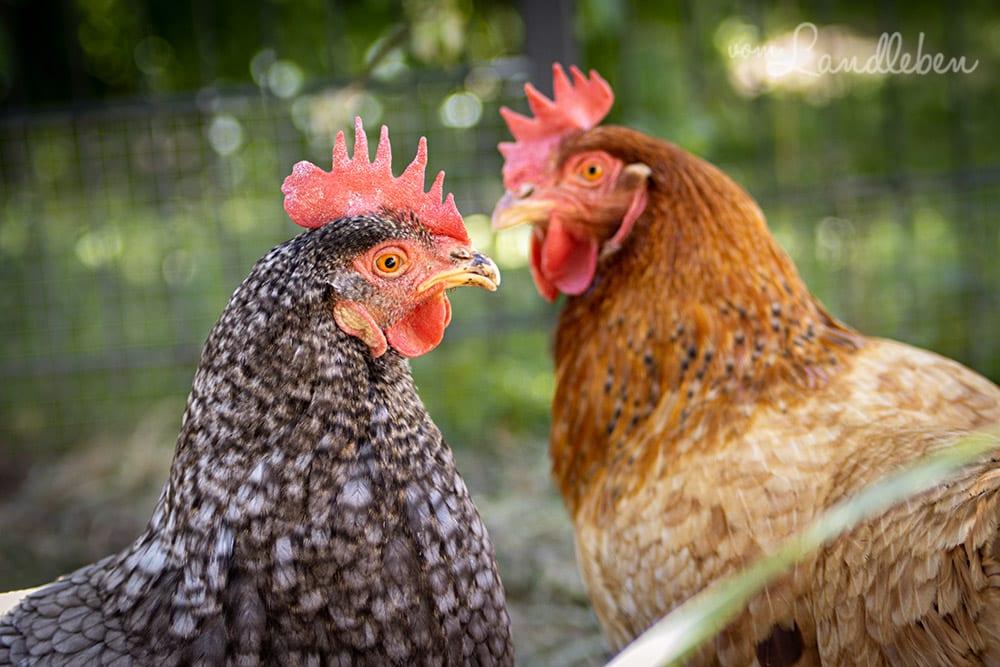Eule und Lotte - Unsere Hühner