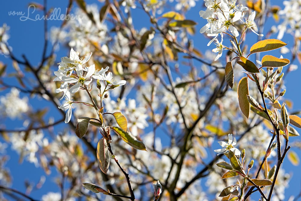 Blüte der Kupferfelsenbirne