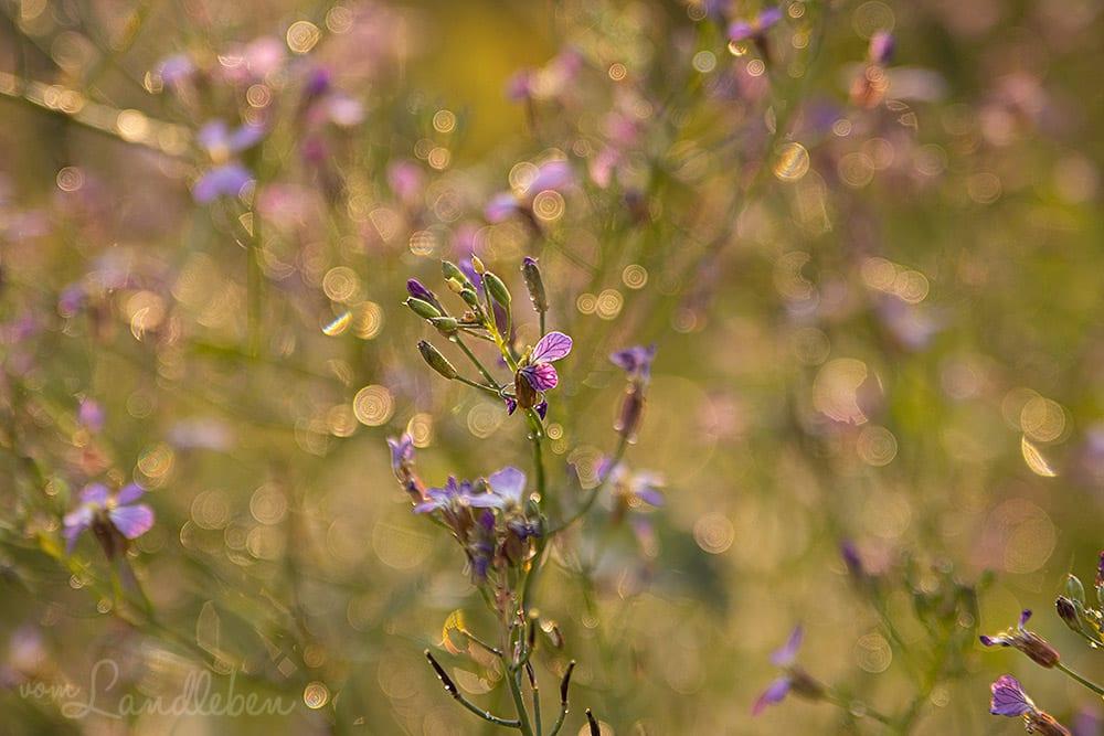 Rettich-Blüte
