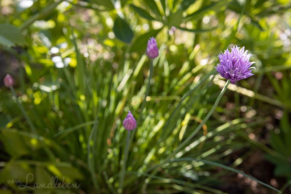 Schnittlauch-Blüte