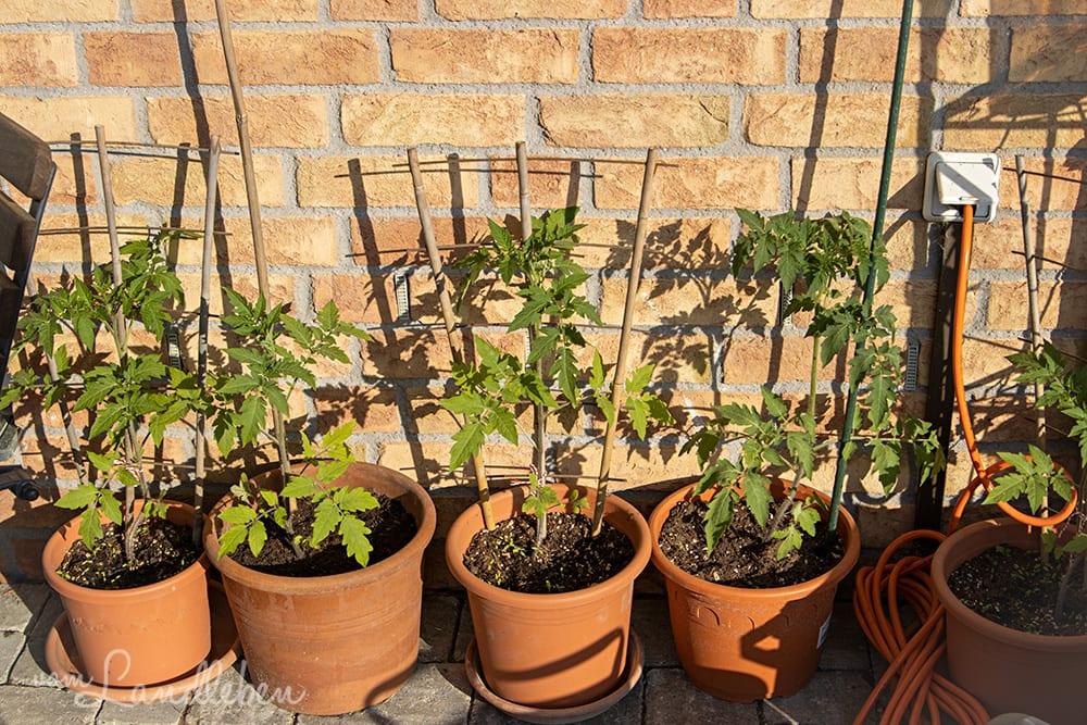 Tomaten im April 2020