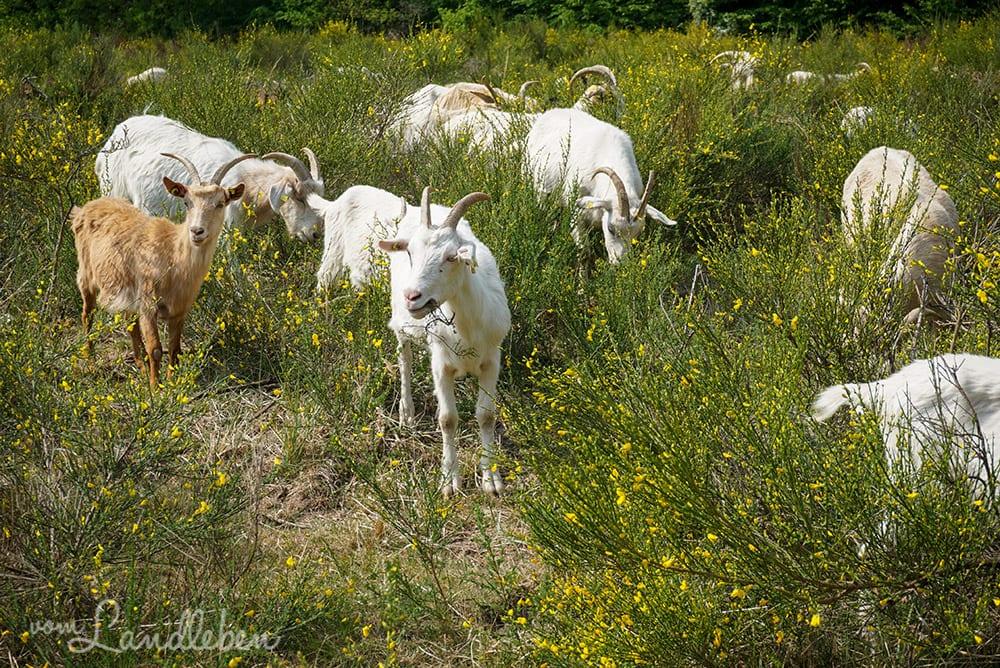 Ziegen in der Wahner Heide