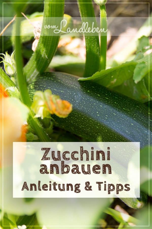 Zucchini selber anbauen: so geht's! Anleitung und Tipps aus meinem Garten
