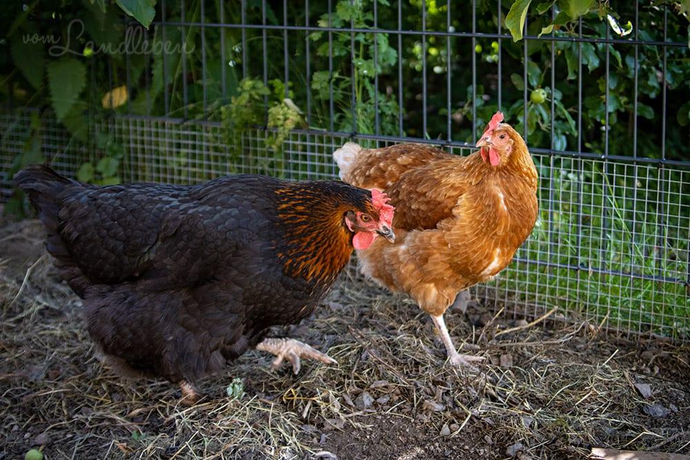 Unsere Hühner - Bertha und Henriette