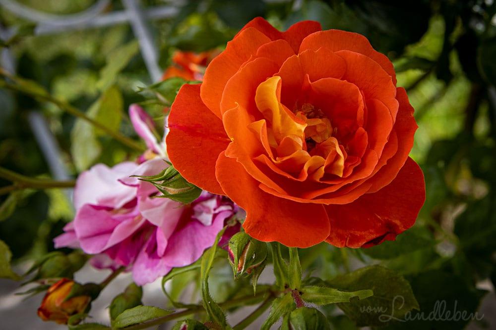 """Rose """"Gebrüder Grimm"""""""