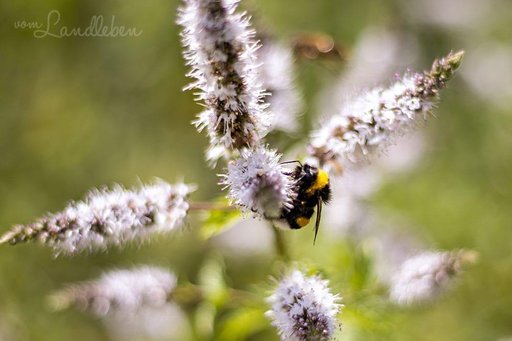 Biene an einer Minz-Blüte