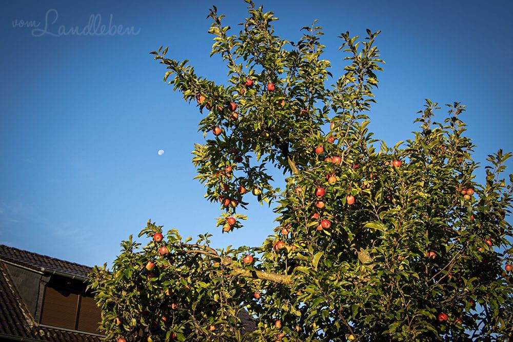 Apfelbaum im September 2020