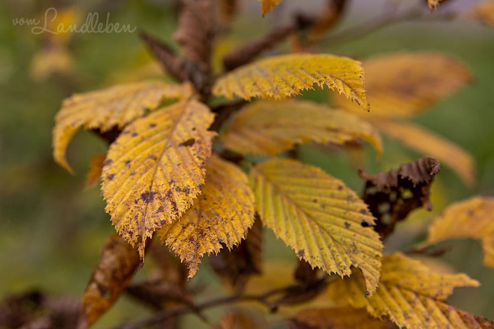 Hecke im Herbst