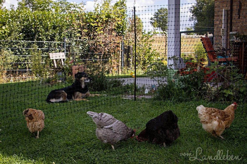 Unser Hund und unsere Hühner im Garten